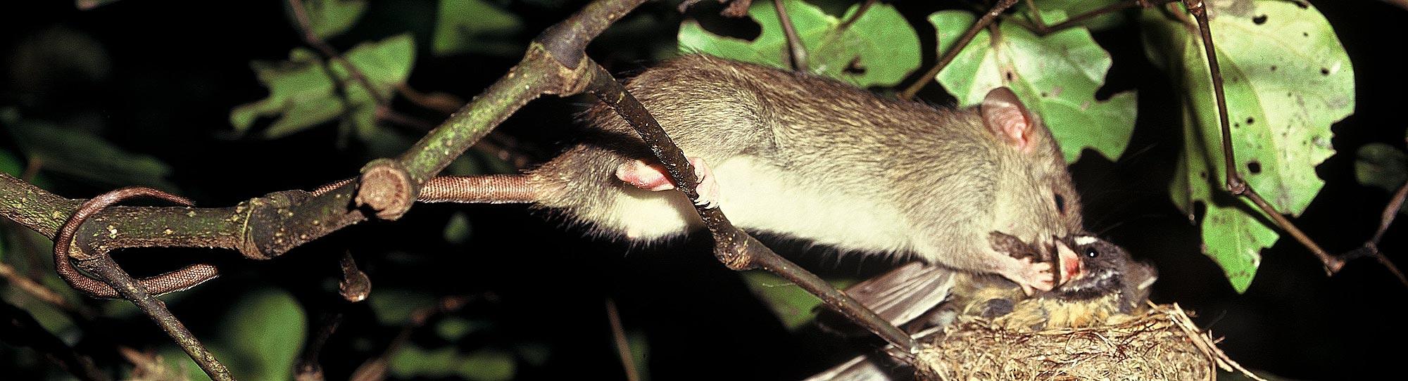 Rat eating native bird in New Zealand