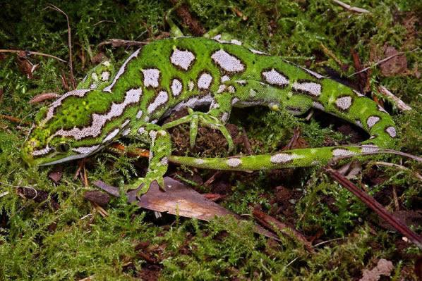 The Jewelled Gecko