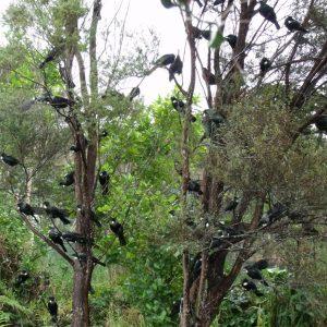 Tui in Kanuka Tree