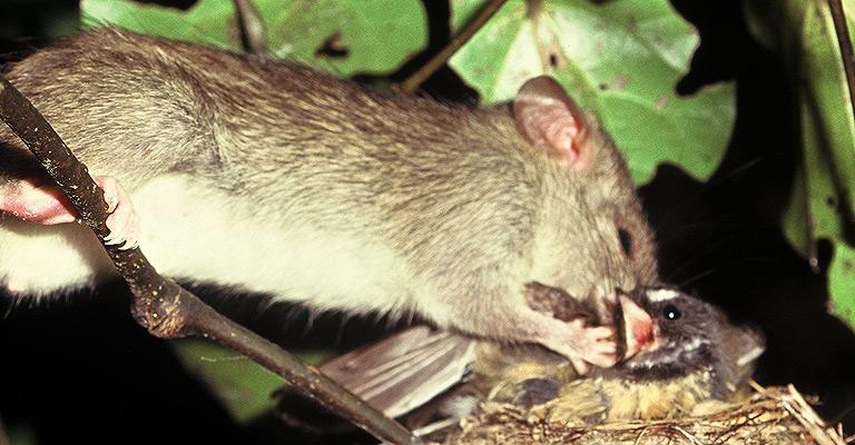 rat eating native bird