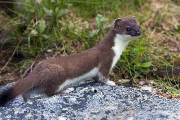 Stoat on a rock